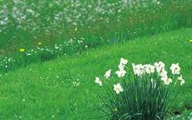 Rośliny cebulowe na trawniku: krokus, szafirek, narcyz. Sprawdź, jakie rośliny najlepiej się czują na trawniku