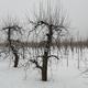 Cięcie drzew owocowych – terminy i zasady