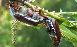 Chrabąszcz majowy - jak szkodzi roślinom w ogrodzie