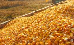 Czy piec na pelet umożliwia spalanie ziaren zbóż i kukurydzy?