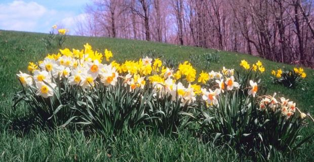 Rośliny cebulowe kwitnące wiosną